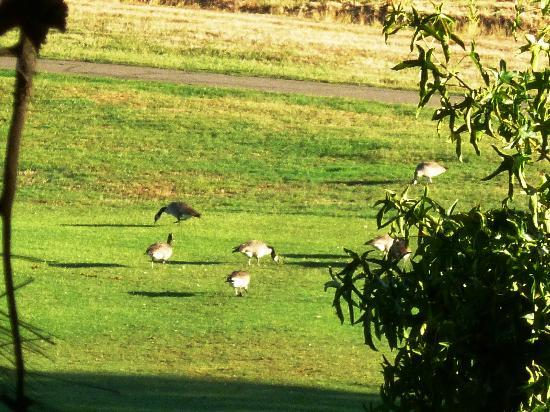 Alta Sierra Village Inn: Some Geese on the Golf Course from the porch.