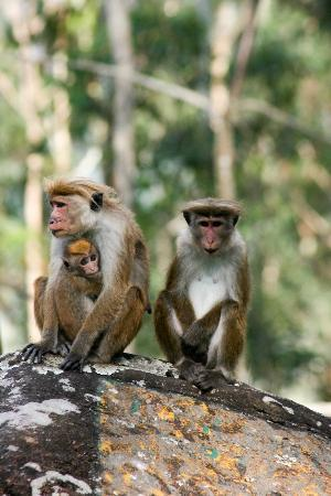 Ceylon Tea Trails: Monkeys on Norwood trail