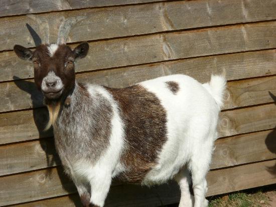 Deer's Glade Caravan & Camping Park: Goats