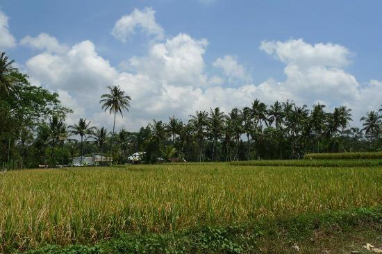 Amori Villas: Paddy field