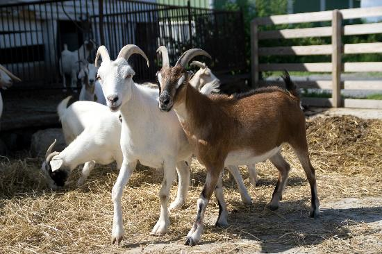Chelsea Sun Inn: A few of the family goats