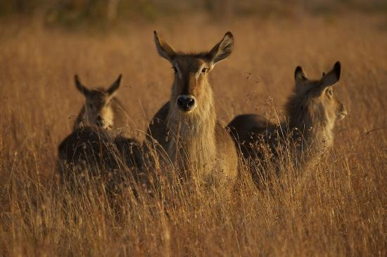 Tydon Safari Camp: Water Buck