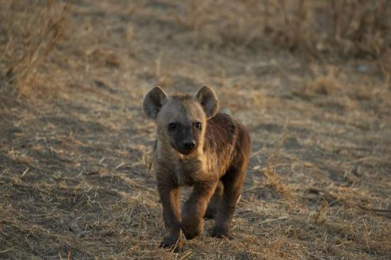 Tydon Safari Camp: Hyena cub