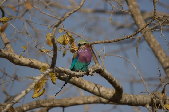 Tydon Safari Camp: Lilac breasted Roller