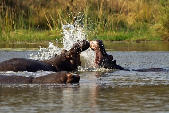 Tydon Safari Camp: Hippos