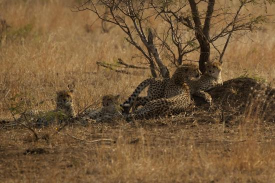 Tydon Safari Camp: Cheetahs