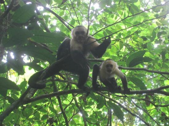 Blue Osa Yoga Retreat and Spa : Capuchins in the trees during our hike.