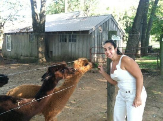 Chimney Hill Estate & Ol' Barn Inn : Feeding the alpacas!