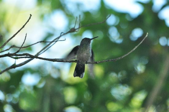 Tenorio Lodge: Phaeochroa cuvierii - Schuppenbrustkolibri