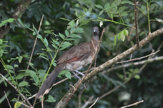 Tenorio Lodge: Ortalis cinereiceps - Graukopfguan