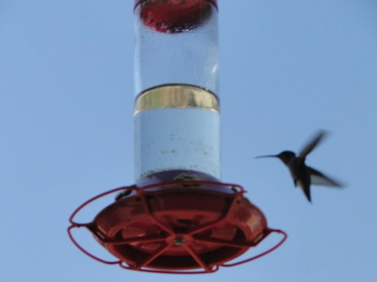 Kings Canyon Lodge: Busy hummingbirds outside