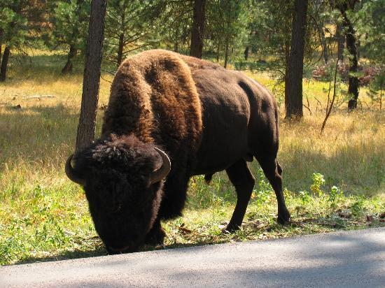 Wind Cave National Park, เซาท์ดาโคตา: Nice Buffalo