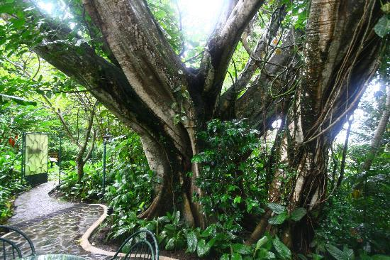 Finca Rosa Blanca Coffee Plantation & Inn: mystical ancient trees surround the casitas