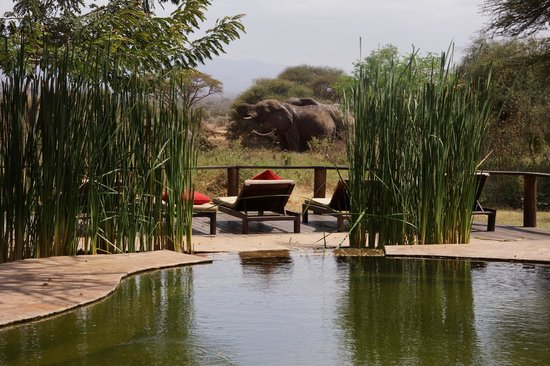 Tawi Lodge: View from pool - elephants etc drinking from waterhole while you swim