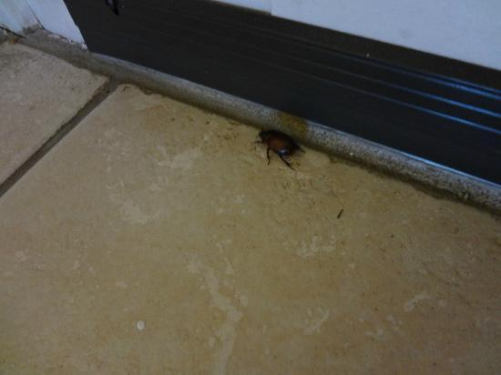 Westin La Paloma Resort and Spa: crazy beetle