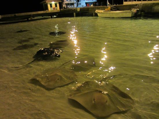 Sun Island Resort: Sting rays