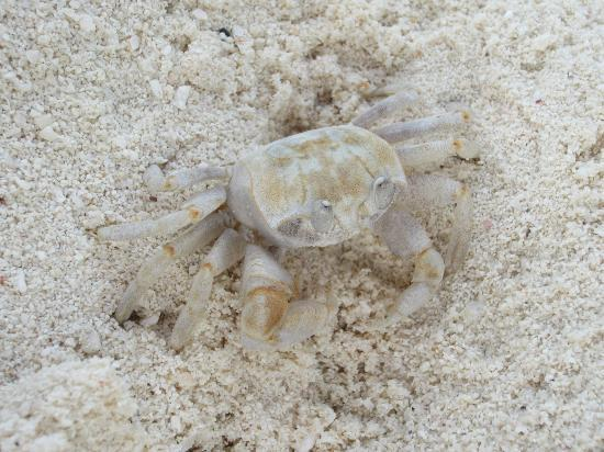 Sun Island Resort: Crab