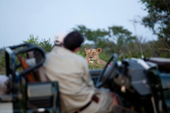 andBeyond Phinda Forest Lodge: Other Phinda safari jeep watching Female Lion