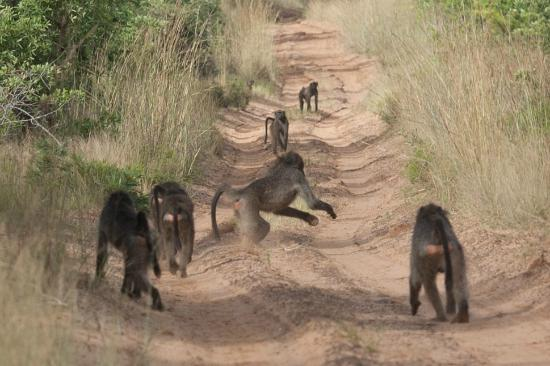 andBeyond Phinda Forest Lodge: Group of Baboons on our track