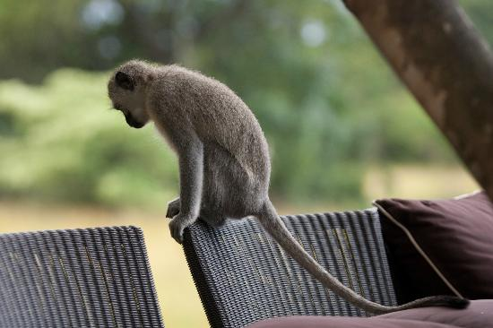 andBeyond Phinda Forest Lodge: Local Monkey