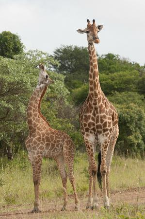 andBeyond Phinda Forest Lodge: Mother and baby Giraffe