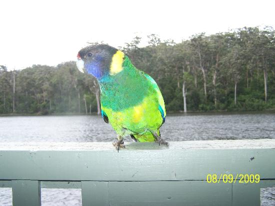 Karri Valley Resort: Birds joining us for a coffee on the balcony