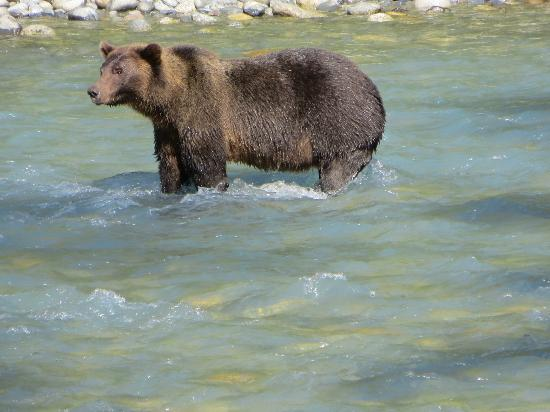 Campbell River Whale Watching and Adventure Tours: Large Male Grizzly Bear