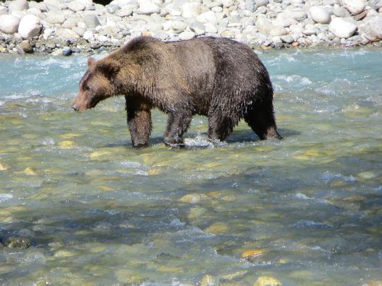 Campbell River Whale Watching and Adventure Tours: Male Griggly Bear