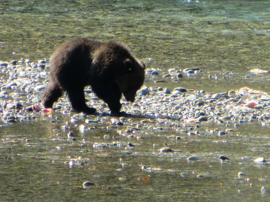 Campbell River Whale Watching and Adventure Tours: Young Grizzly Bear