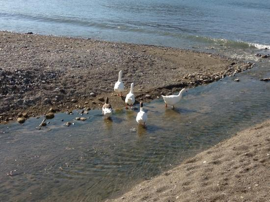 Costas & Chrysoula: the local geese take a dip