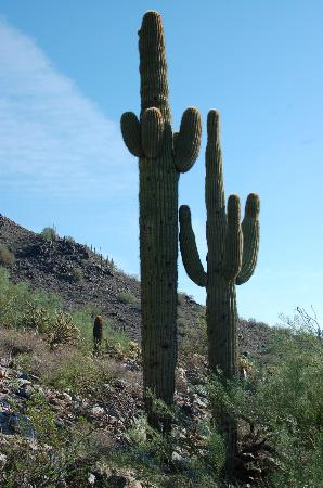 Hike In Phoenix, LLC : Wonderful Saguaro cacti!