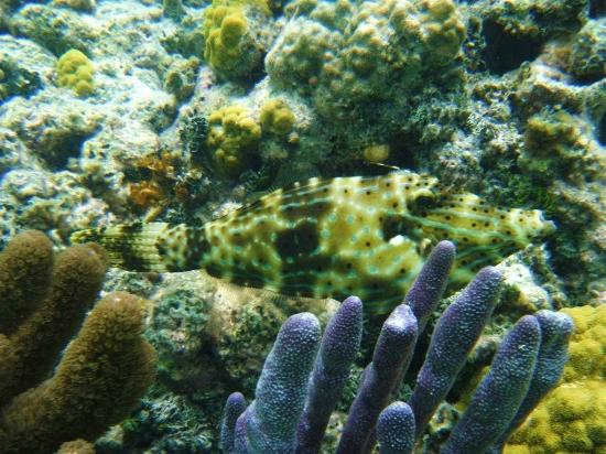 Tranquility Bay Resort: The resident scrawled filefish (snorkeling)