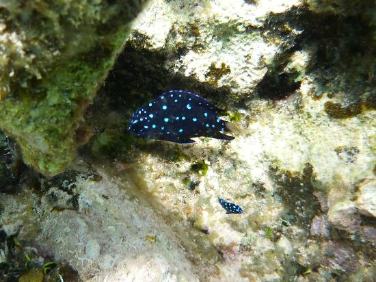 Tranquility Bay Resort: Juvenile yellow tailed damselfish (snorkeling)