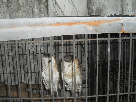 Malabon Zoo: owls forced into daylight in a tiny cage without shelter or water