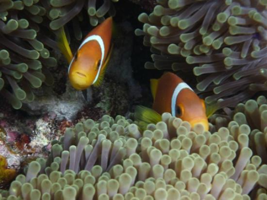 Baros Maldives : Nemo!