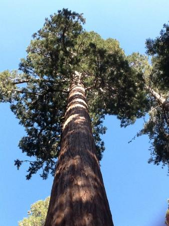 Grant Grove: Reaching for the sky