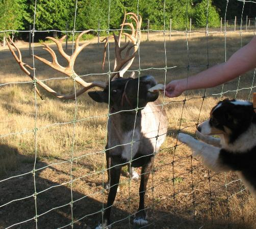 A Hidden Haven Bed and Breakfast: Feeding the pet Reindeer