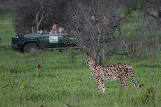 ‪‪andBeyond Phinda Mountain Lodge‬: Female Cheetah on a hunt with a Phinda safari vehicle in background