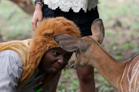 andBeyond Phinda Mountain Lodge: Richard dressed in his lion outfit with a young nyala 
