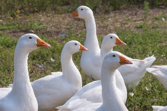 Villa Sampaguita: Farm geese