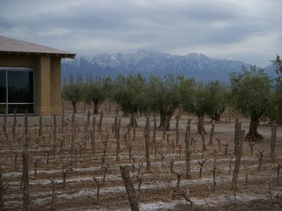 La Bourgogne : Olive trees around the vineyard.