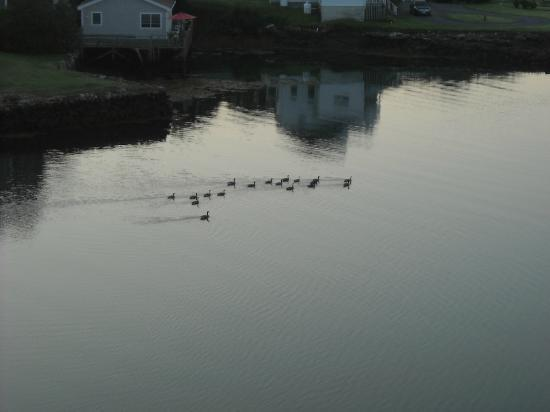 هاربوراج إن أون ذا أوشنفرونت: Geese off the dock area 