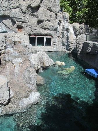 ABQ BioPark Zoo: Polar bears playing in the water