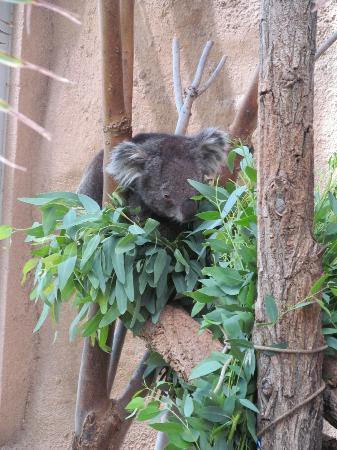 ABQ BioPark Zoo: Koala