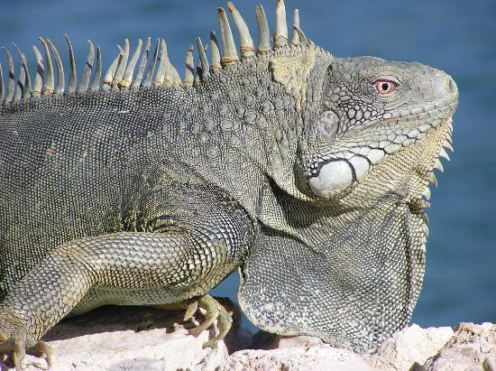 Waterlands Village: resident Iguana