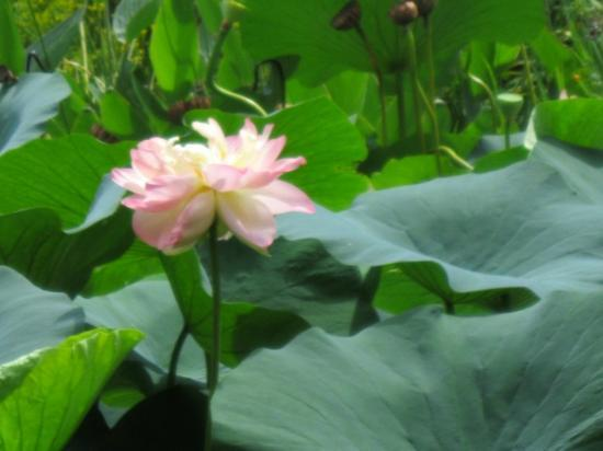 Chanticleer: lotus