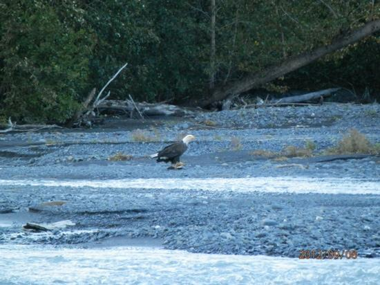 Seward Windsong Lodge: Eagle dining on salmon acroos the street from the lodge.