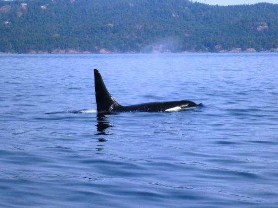 Eagle Wing Whale Watching Tours: Orca