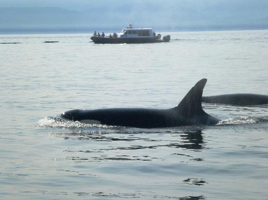 Eagle Wing Whale Watching Tours: Orca dorsil fin