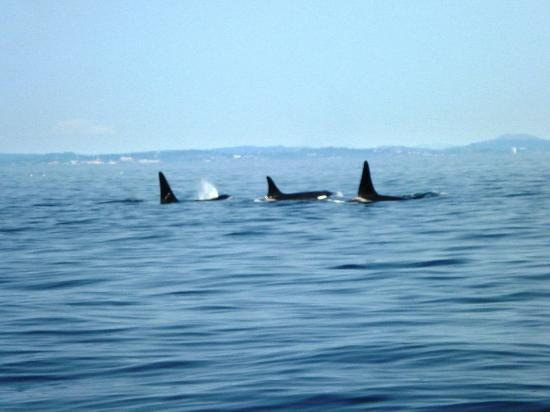 Eagle Wing Whale Watching Tours: Orca Family